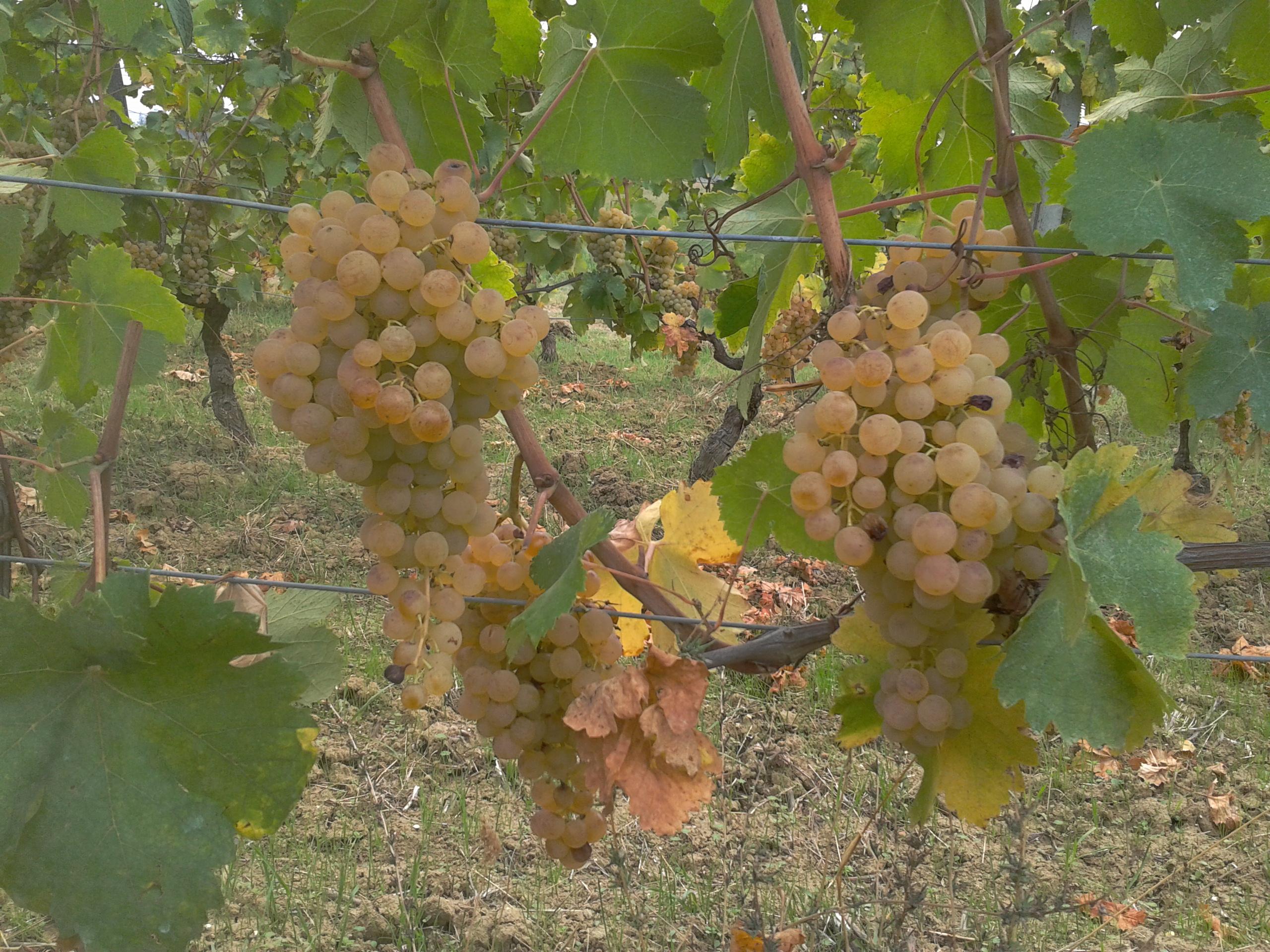 Grappoli d'uva: un simbolo dei nostri percorsi culturali per Expo 2015